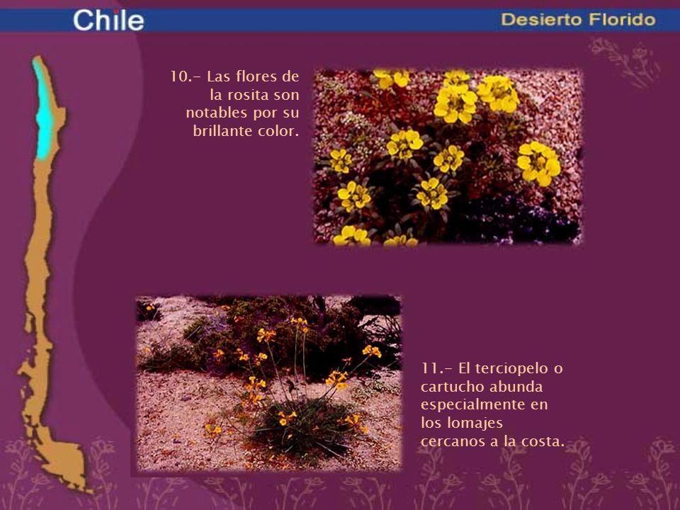 10.- Las flores de la rosita son notables por su brillante color. 11.- El terciopelo o cartucho abunda especialmente en los lomajes cercanos a la cost
