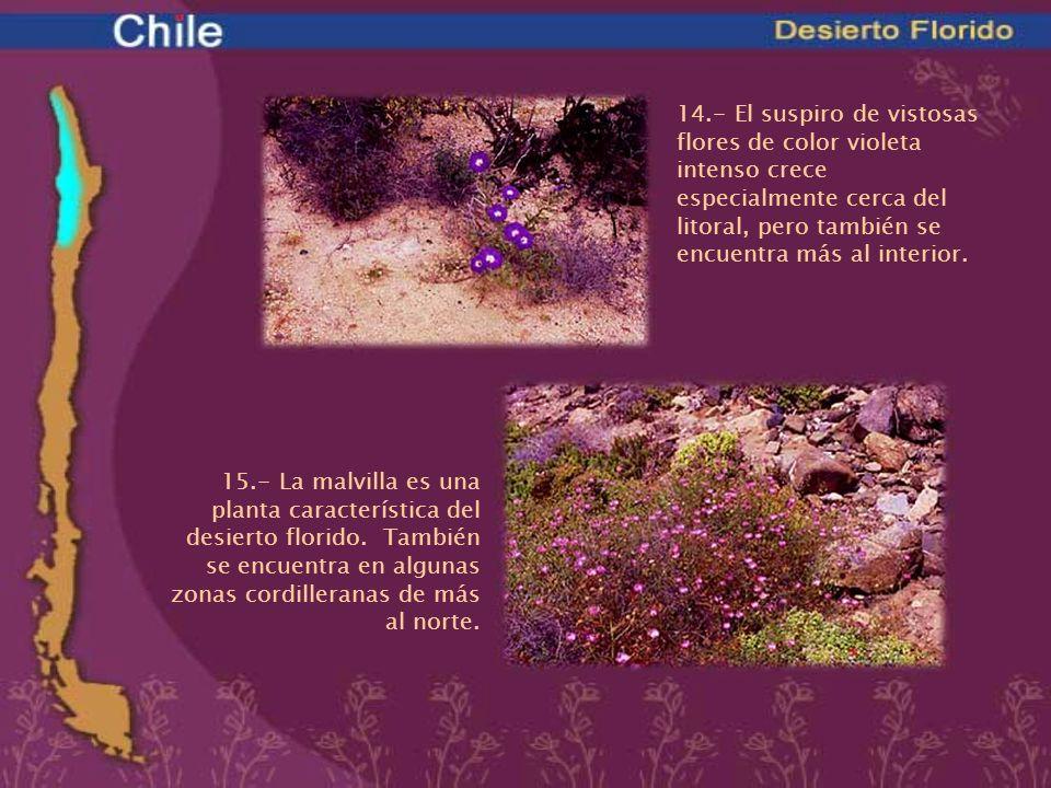 14.- El suspiro de vistosas flores de color violeta intenso crece especialmente cerca del litoral, pero también se encuentra más al interior. 15.- La