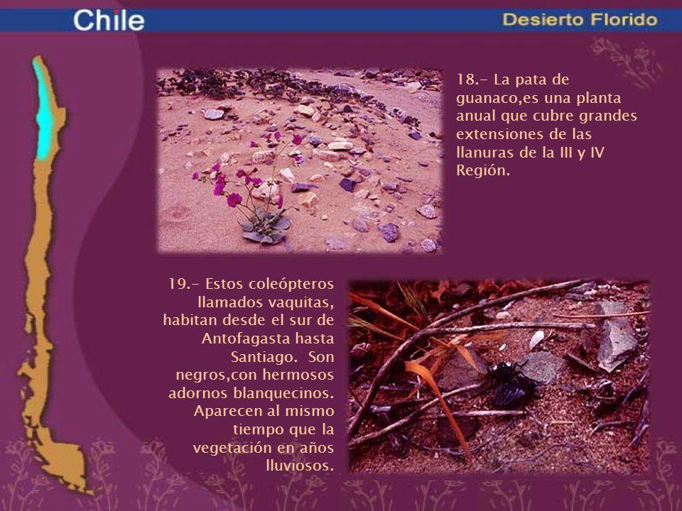 18.- La pata de guanaco,es una planta anual que cubre grandes extensiones de las llanuras de la III y IV Región. 19.- Estos coleópteros llamados vaqui