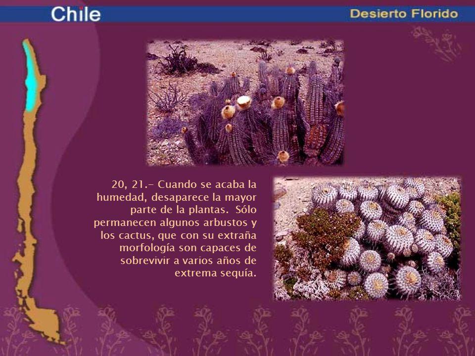 20, 21.- Cuando se acaba la humedad, desaparece la mayor parte de la plantas. Sólo permanecen algunos arbustos y los cactus, que con su extraña morfol