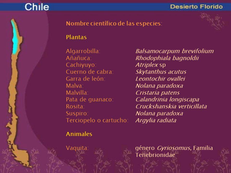 Nombre científico de las especies: Plantas Algarrobilla: Balsamocarpum brevifolium Añañuca: Rhodophiala bagnoldii Cachiyuyo: Atriplex sp Cuerno de cab
