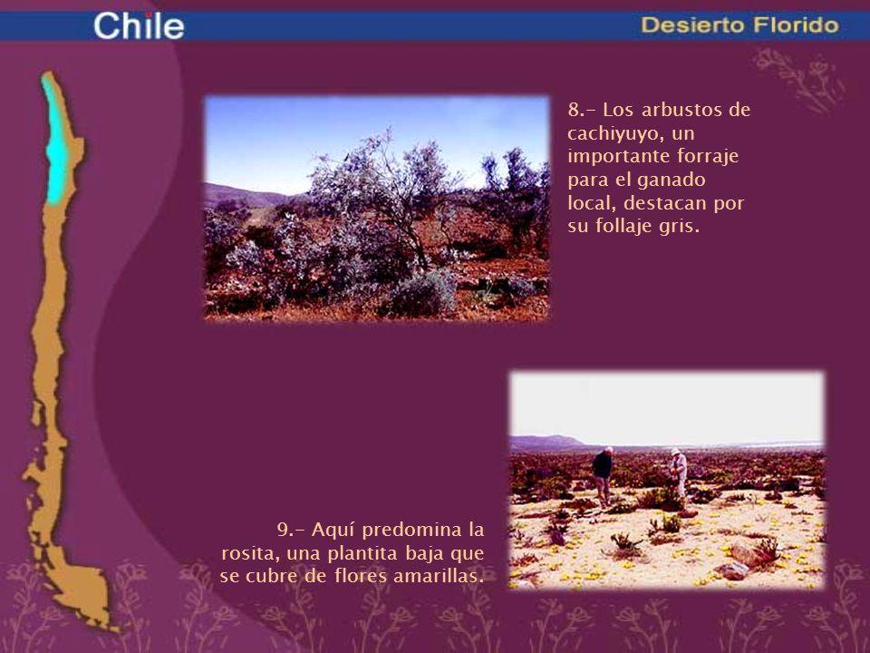 8.- Los arbustos de cachiyuyo, un importante forraje para el ganado local, destacan por su follaje gris. 9.- Aquí predomina la rosita, una plantita ba