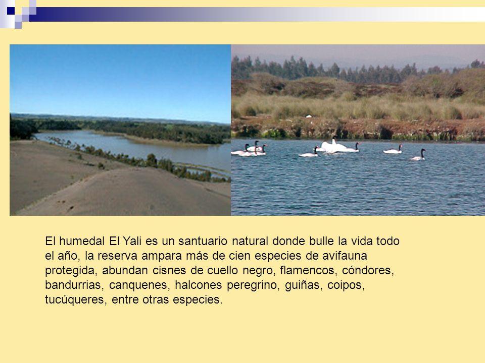 El humedal El Yali es un santuario natural donde bulle la vida todo el año, la reserva ampara más de cien especies de avifauna protegida, abundan cisn