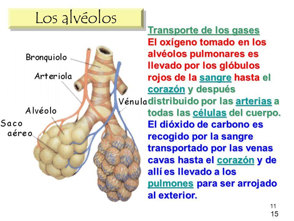 11 Los alvéolos Transporte de los gases El oxígeno tomado en los alvéolos pulmonares es llevado por los glóbulos rojos de la sangre hasta el corazón y después distribuido por las arterias a todas las células del cuerpo.