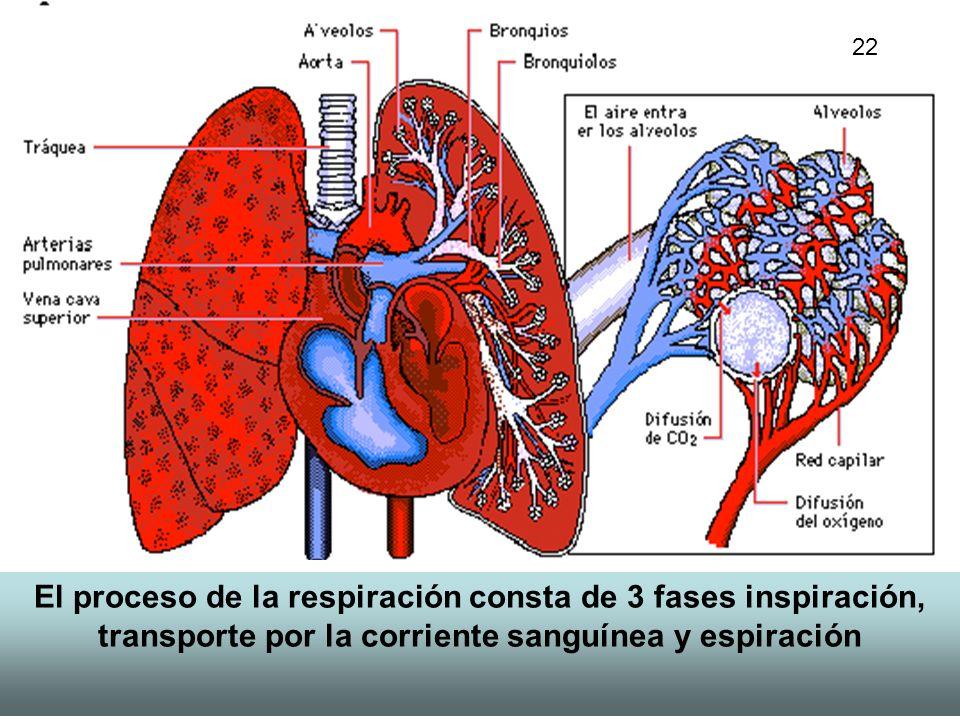 14 El proceso de la respiración consta de 3 fases inspiración, transporte por la corriente sanguínea y espiración 22