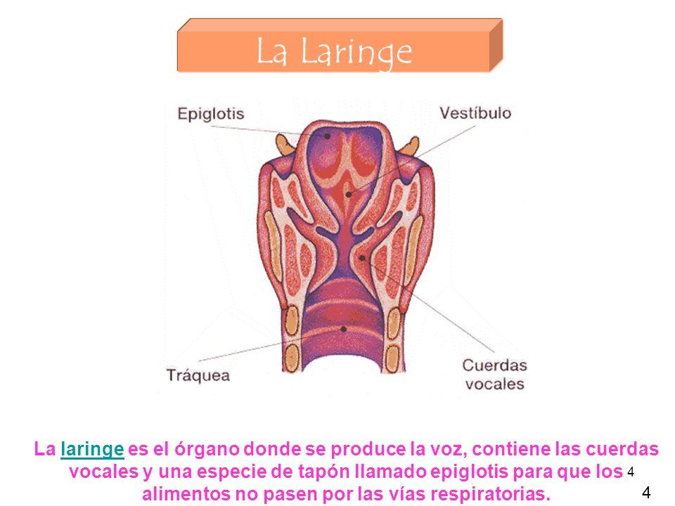4 La Laringe La laringe es el órgano donde se produce la voz, contiene las cuerdas vocales y una especie de tapón llamado epiglotis para que los alimentos no pasen por las vías respiratorias.laringe 4