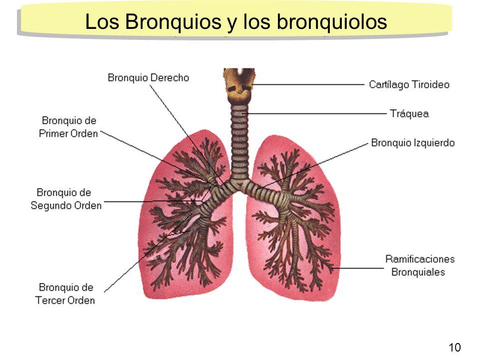 7 Los Bronquios y los bronquiolos 10