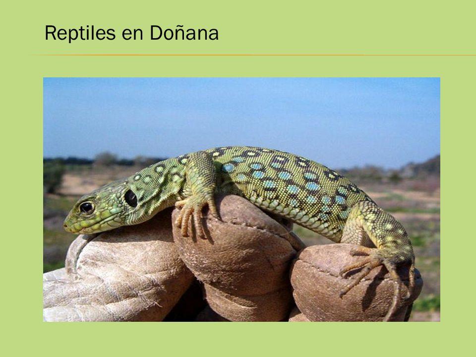 Reptiles en Doñana
