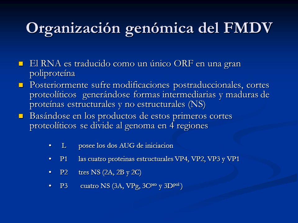 Organización genómica del FMDV El RNA es traducido como un único ORF en una gran poliproteína El RNA es traducido como un único ORF en una gran polipr