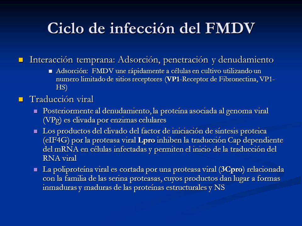 Ciclo de infección del FMDV Interacción temprana: Adsorción, penetración y denudamiento Interacción temprana: Adsorción, penetración y denudamiento Ad