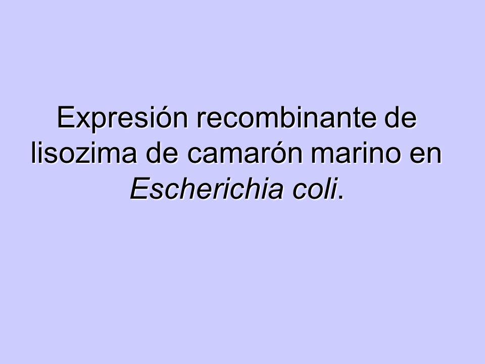 Expresión recombinante de lisozima de camarón marino en Escherichia coli.