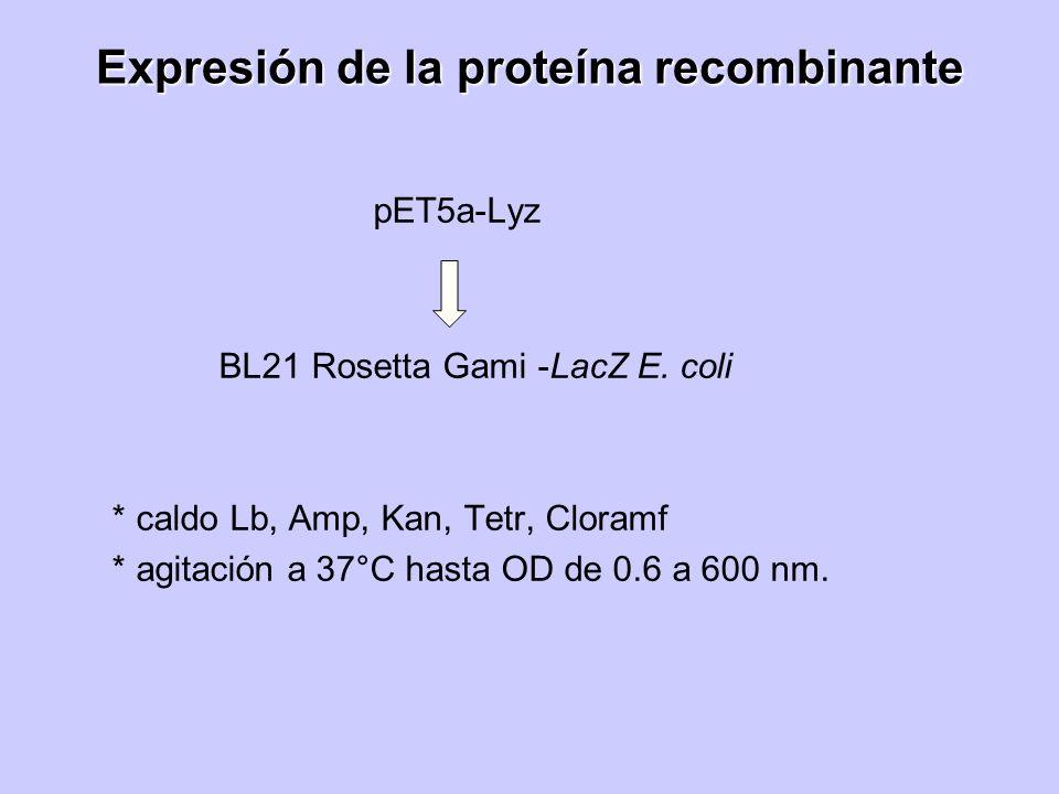 Expresión de la proteína recombinante pET5a-Lyz BL21 Rosetta Gami -LacZ E. coli * caldo Lb, Amp, Kan, Tetr, Cloramf * agitación a 37°C hasta OD de 0.6