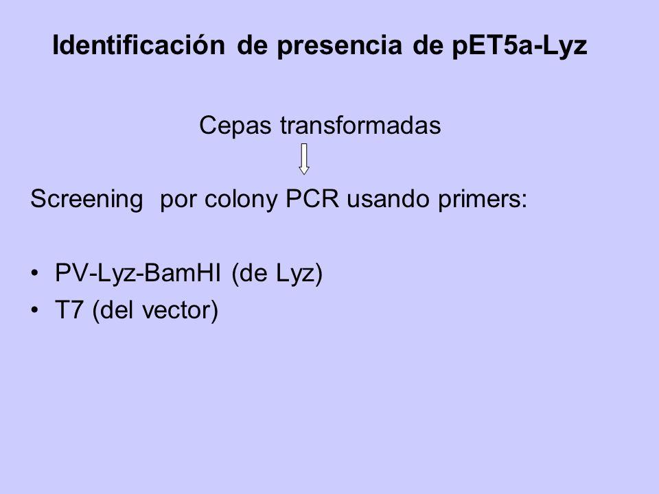 Identificación de presencia de pET5a-Lyz Cepas transformadas Screening por colony PCR usando primers: PV-Lyz-BamHI (de Lyz) T7 (del vector)