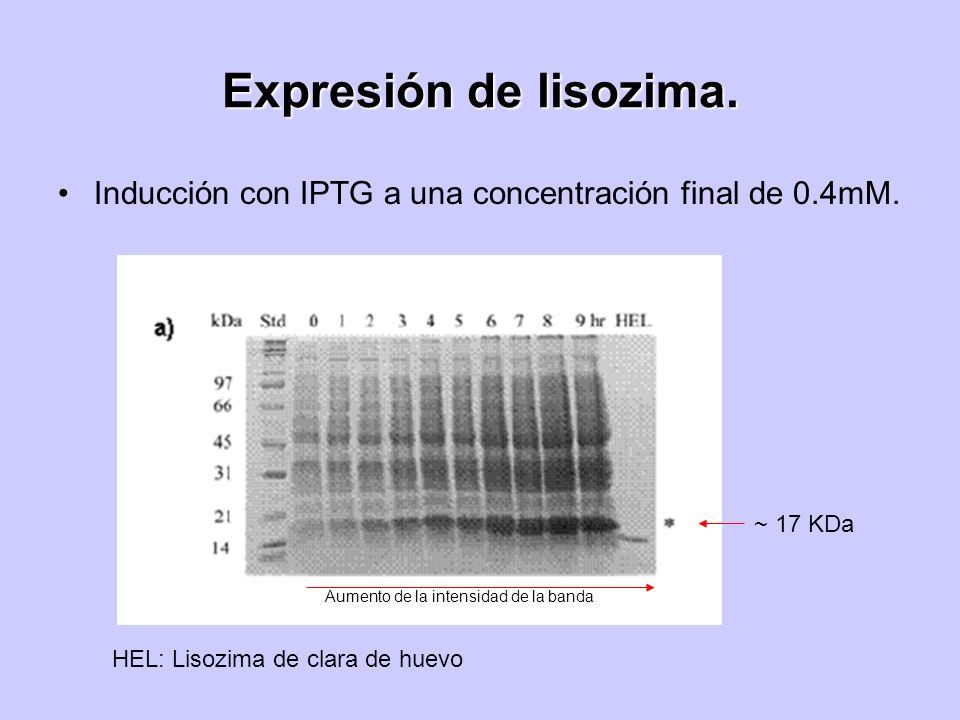 Expresión de lisozima. Inducción con IPTG a una concentración final de 0.4mM. HEL: Lisozima de clara de huevo ~ 17 KDa Aumento de la intensidad de la