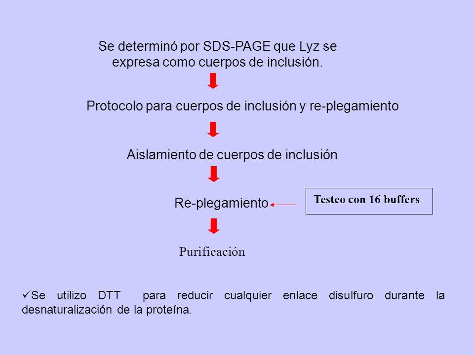 Protocolo para cuerpos de inclusión y re-plegamiento Se determinó por SDS-PAGE que Lyz se expresa como cuerpos de inclusión. Aislamiento de cuerpos de