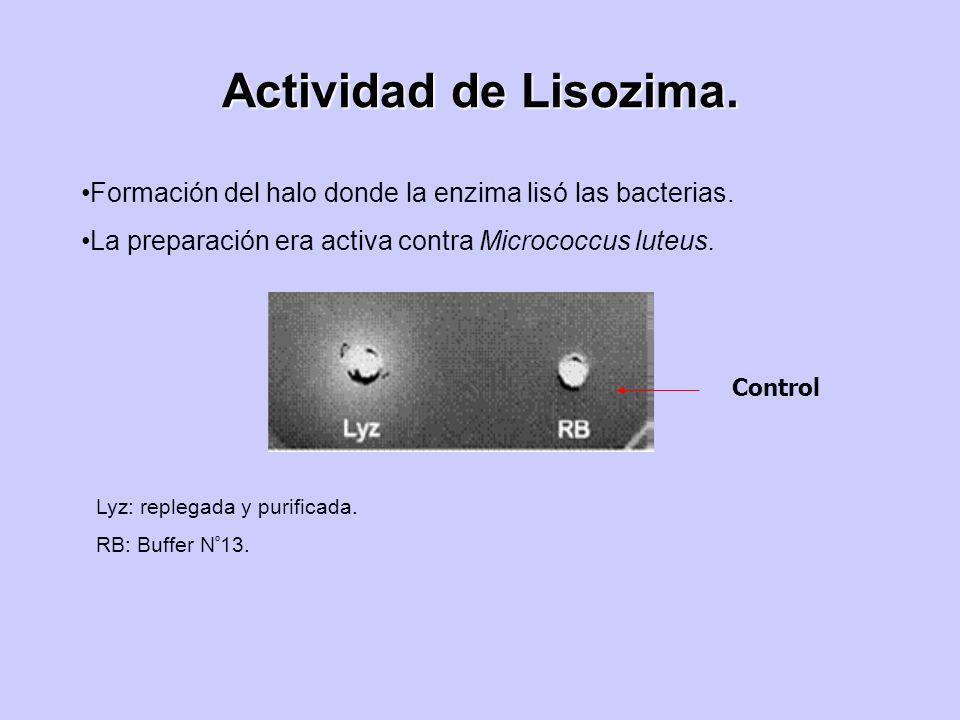 Actividad de Lisozima. Formación del halo donde la enzima lisó las bacterias. La preparación era activa contra Micrococcus luteus. Lyz: replegada y pu