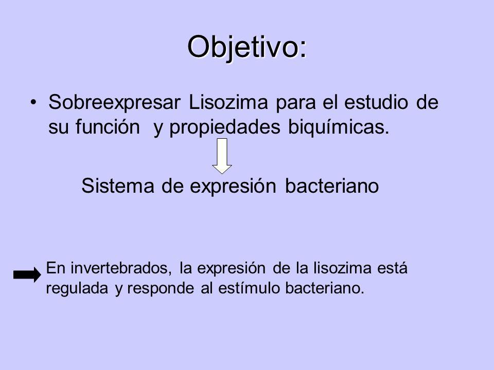 Objetivo: Sobreexpresar Lisozima para el estudio de su función y propiedades biquímicas. Sistema de expresión bacteriano En invertebrados, la expresió