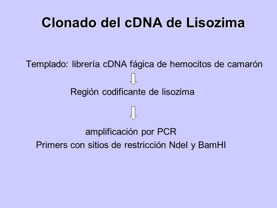Clonado del cDNA de Lisozima Templado: librería cDNA fágica de hemocitos de camarón Región codificante de lisozima amplificación por PCR Primers con s