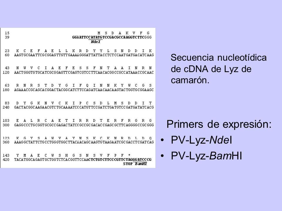 Secuencia nucleotídica de cDNA de Lyz de camarón. Primers de expresión: PV-Lyz-NdeI PV-Lyz-BamHI
