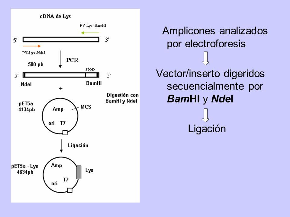 Amplicones analizados por electroforesis Vector/inserto digeridos secuencialmente por BamHI y NdeI Ligación