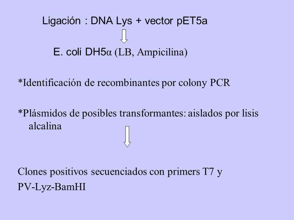 Ligación : DNA Lys + vector pET5a E. coli DH5 α (LB, Ampicilina) *Identificación de recombinantes por colony PCR *Plásmidos de posibles transformantes