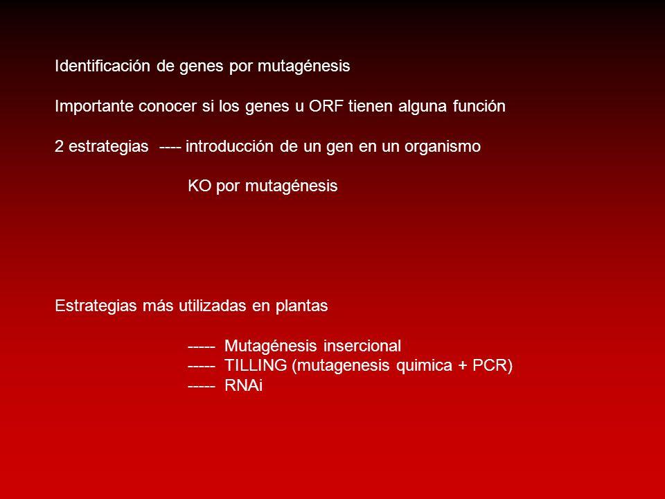 Identificación de genes por mutagénesis Importante conocer si los genes u ORF tienen alguna función 2 estrategias ---- introducción de un gen en un or