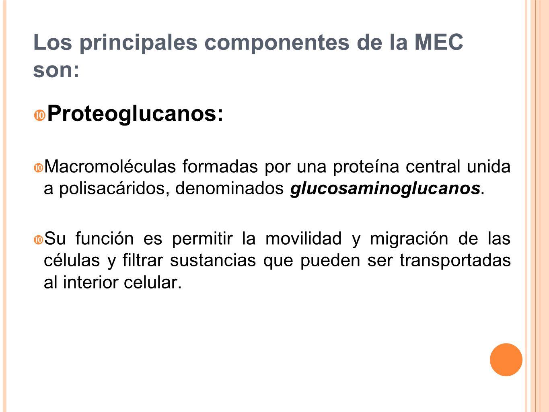 Los principales componentes de la MEC son: Proteoglucanos: Macromoléculas formadas por una proteína central unida a polisacáridos, denominados glucosa