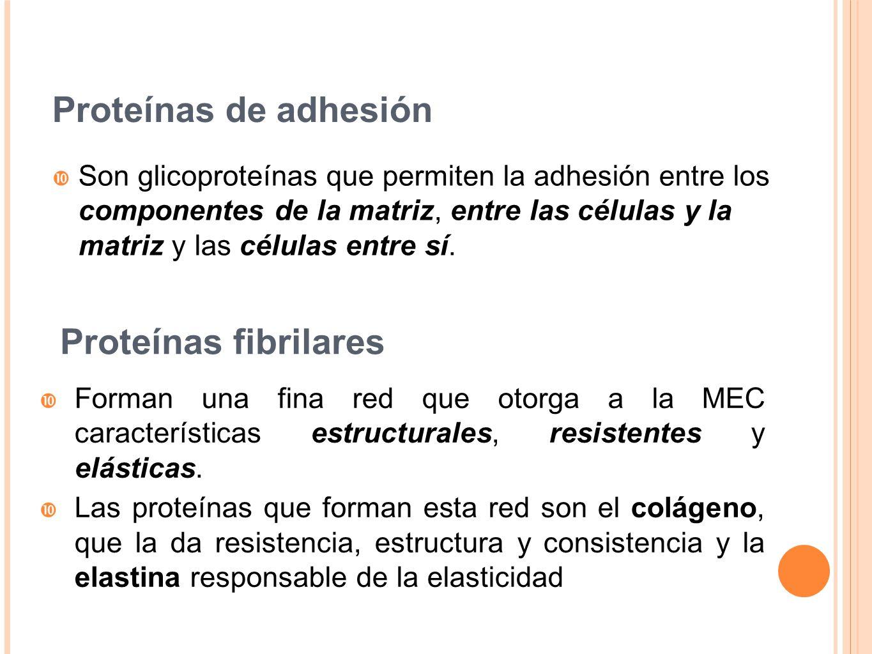 Proteínas de adhesión Son glicoproteínas que permiten la adhesión entre los componentes de la matriz, entre las células y la matriz y las células entr