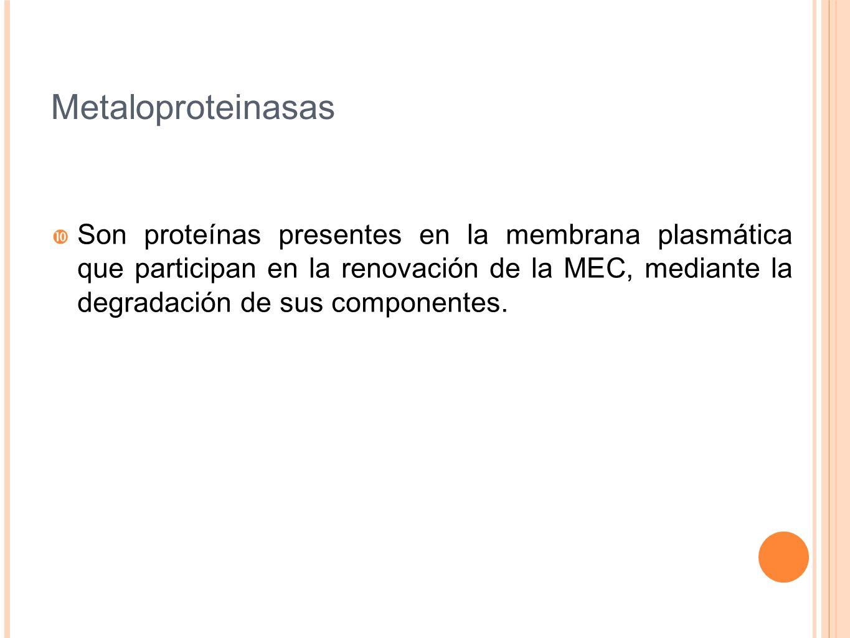 Metaloproteinasas Son proteínas presentes en la membrana plasmática que participan en la renovación de la MEC, mediante la degradación de sus componen