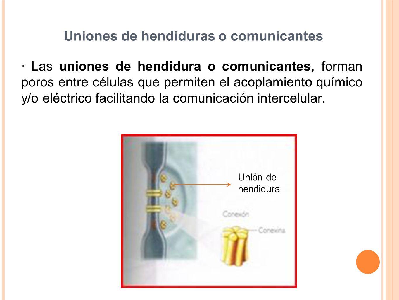 Uniones de hendiduras o comunicantes · Las uniones de hendidura o comunicantes, forman poros entre células que permiten el acoplamiento químico y/o el