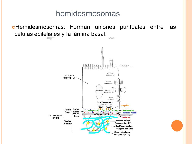 hemidesmosomas Hemidesmosomas: Forman uniones puntuales entre las células epiteliales y la lámina basal.