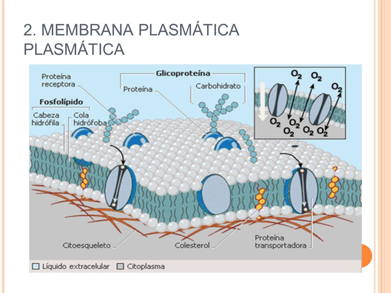 2. MEMBRANA PLASMÁTICA PLASMÁTICA