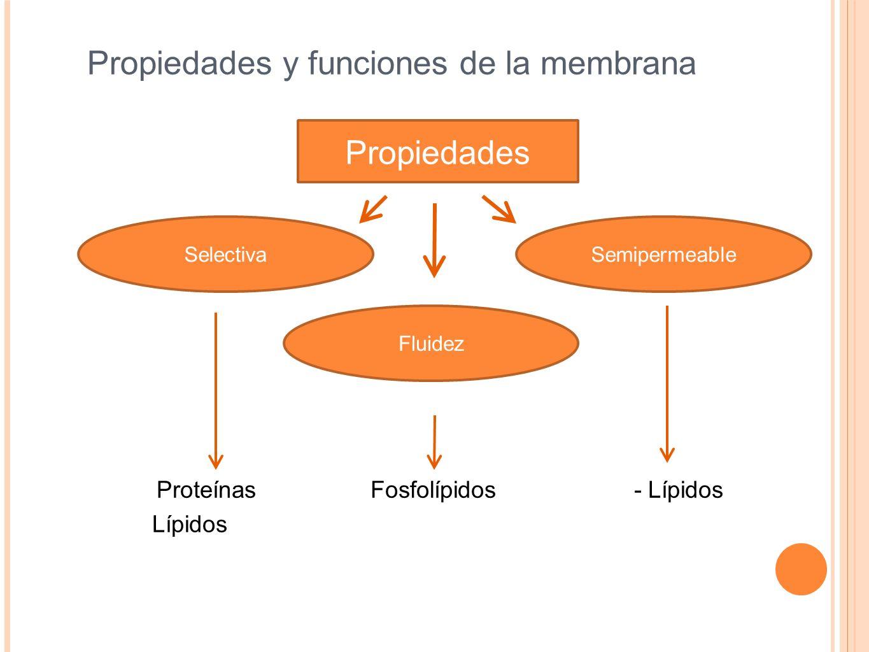 Propiedades y funciones de la membrana Proteínas Fosfolípidos - Lípidos Lípidos Propiedades FluidezSelectivaSemipermeable