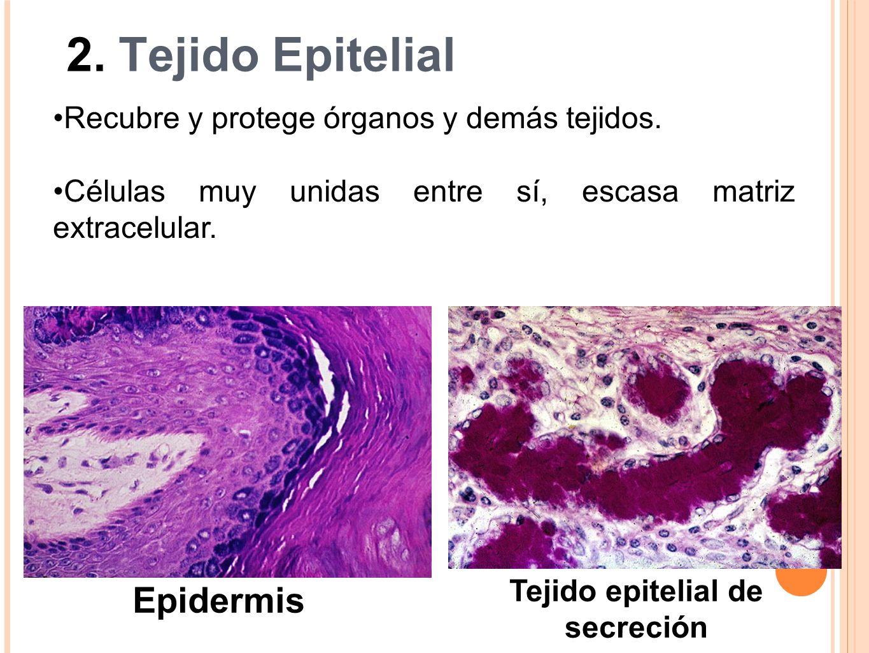 2. Tejido Epitelial Epidermis Tejido epitelial de secreción Recubre y protege órganos y demás tejidos. Células muy unidas entre sí, escasa matriz extr