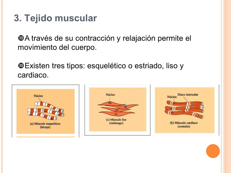 3. Tejido muscular A través de su contracción y relajación permite el movimiento del cuerpo. Existen tres tipos: esquelético o estriado, liso y cardia