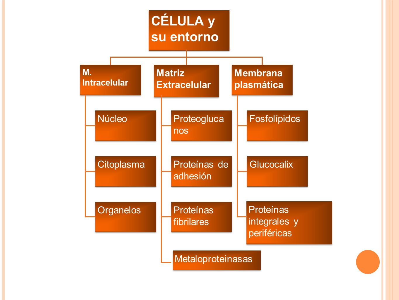 CÉLULA y su entorno M. Intracelular Núcleo Citoplasma Organelos Matriz Extracelular Proteogluca nos Proteínas de adhesión Proteínas fibrilares Metalop