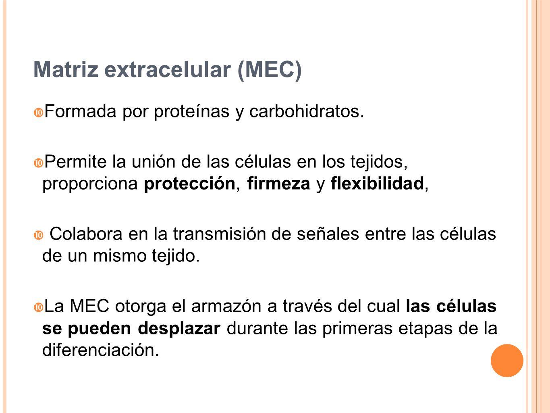 Matriz extracelular (MEC) Formada por proteínas y carbohidratos. Permite la unión de las células en los tejidos, proporciona protección, firmeza y fle