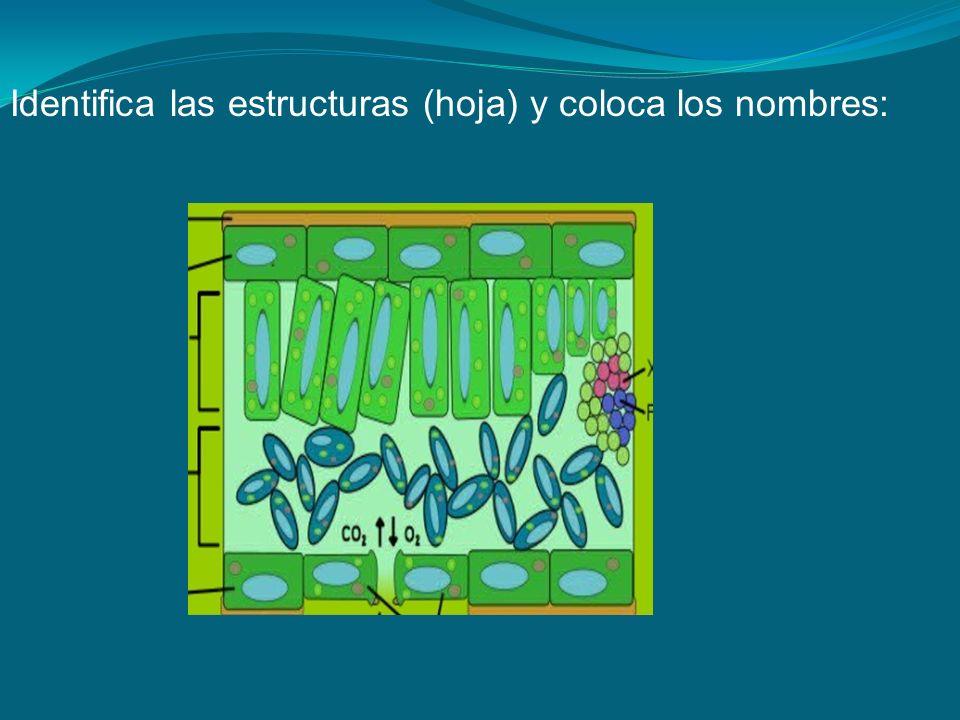 Identifica las estructuras (hoja) y coloca los nombres: