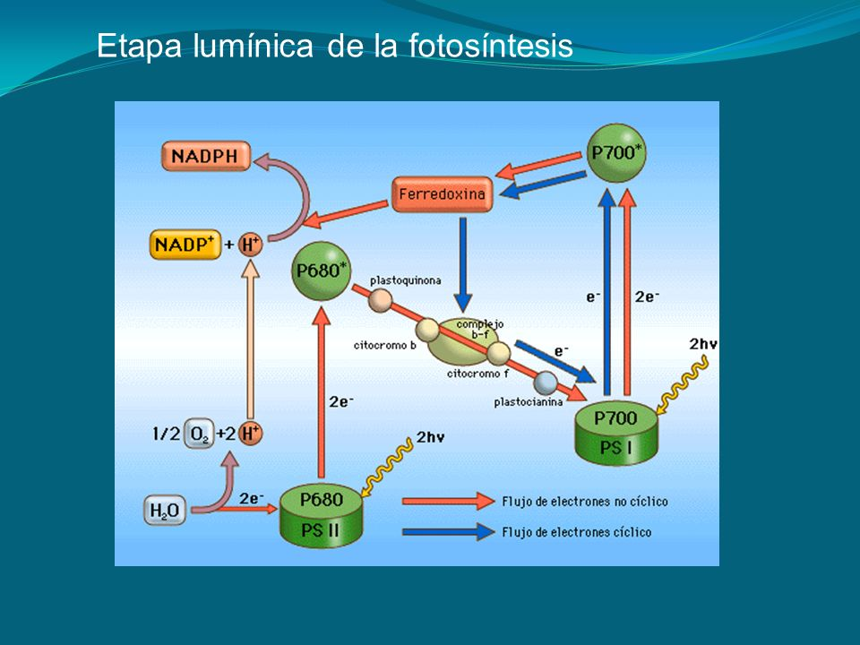 Etapa lumínica de la fotosíntesis