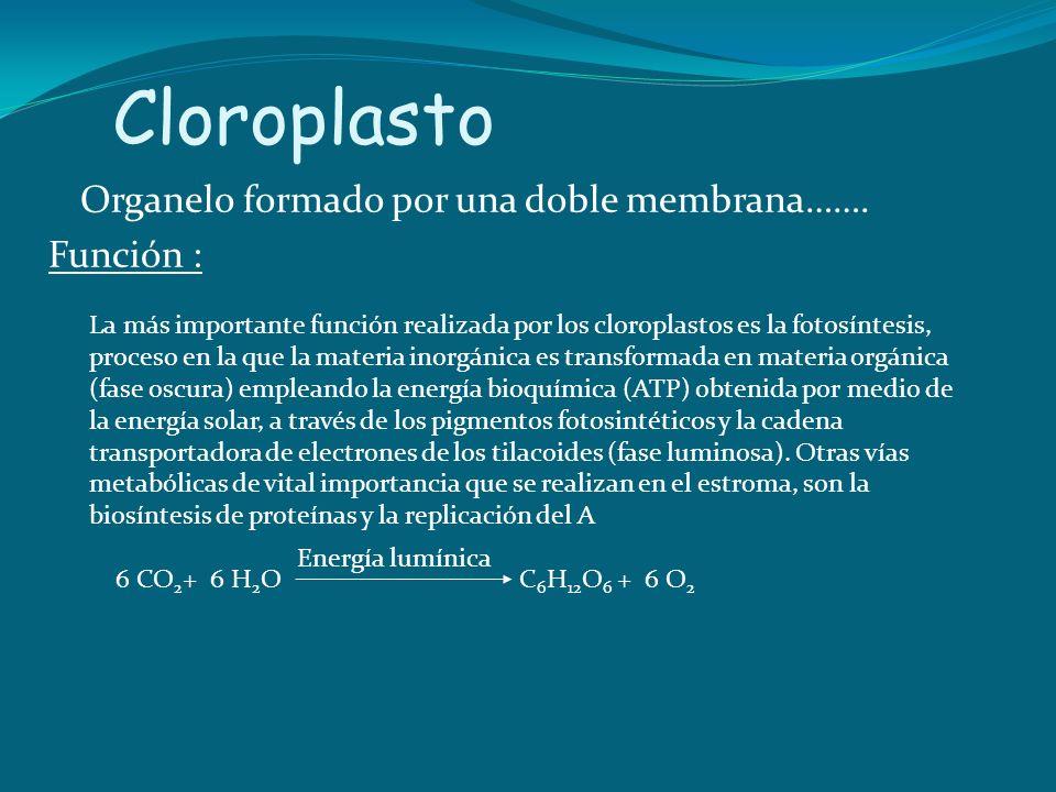 Cloroplasto Organelo formado por una doble membrana……. Función : La más importante función realizada por los cloroplastos es la fotosíntesis, proceso