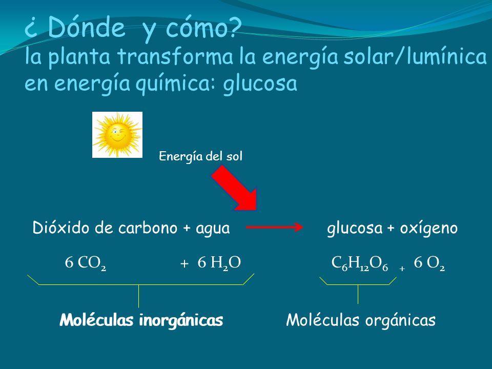 ¿ Dónde y cómo? la planta transforma la energía solar/lumínica en energía química: glucosa Dióxido de carbono + aguaglucosa + oxígeno 6 CO 2 + 6 H 2 O
