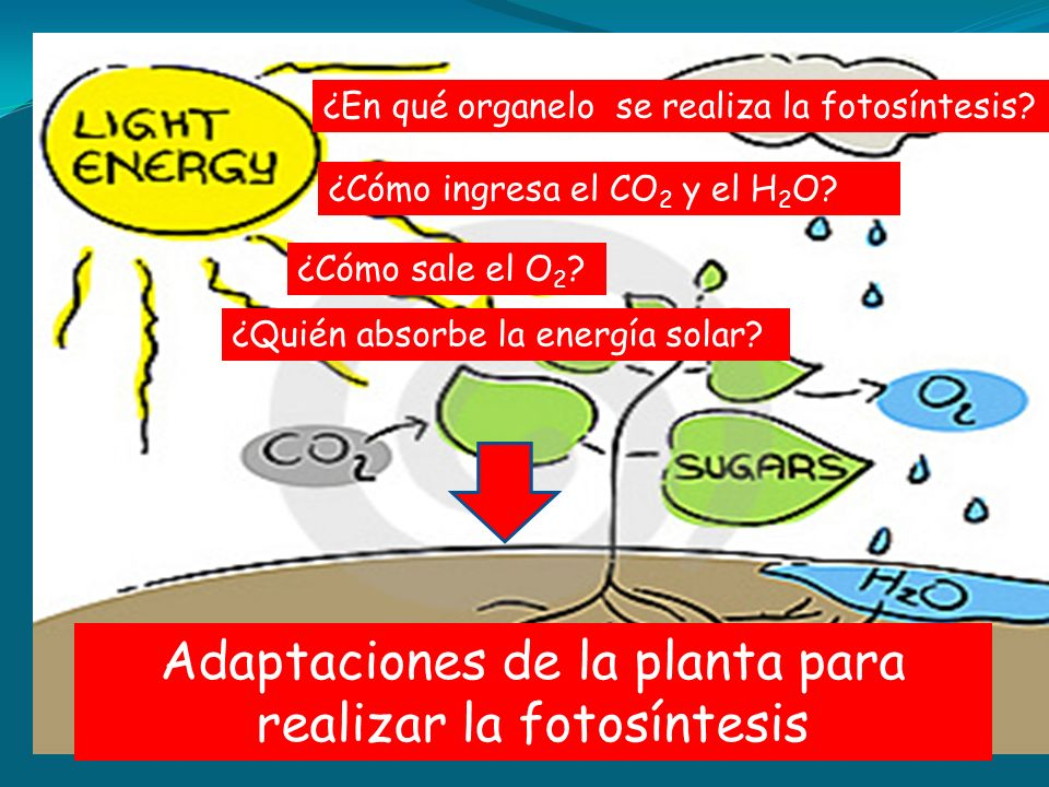 ¿En qué organelo se realiza la fotosíntesis? ¿Cómo ingresa el CO 2 y el H 2 O? ¿Cómo sale el O 2 ? ¿Quién absorbe la energía solar? Adaptaciones de la