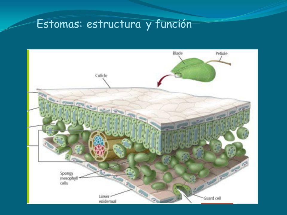 Estomas: estructura y función