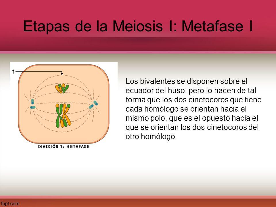 Etapas de la Meiosis I: Metafase I Los bivalentes se disponen sobre el ecuador del huso, pero lo hacen de tal forma que los dos cinetocoros que tiene