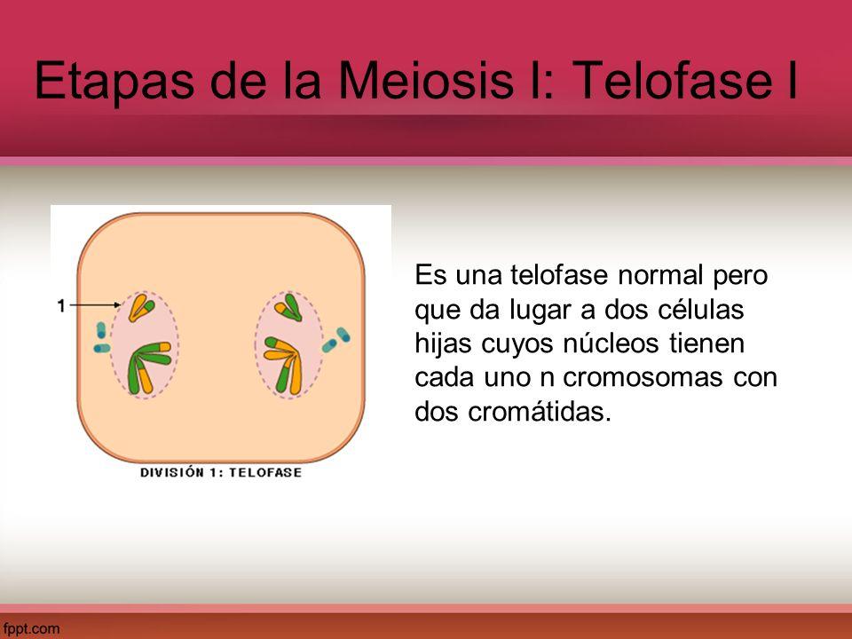 Etapas de la Meiosis I: Telofase I Es una telofase normal pero que da lugar a dos células hijas cuyos núcleos tienen cada uno n cromosomas con dos cro