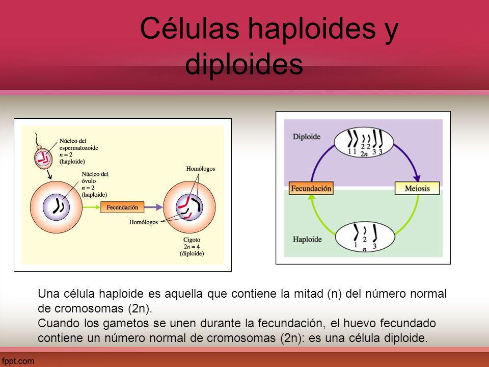 Células haploides y diploides Una célula haploide es aquella que contiene la mitad (n) del número normal de cromosomas (2n). Cuando los gametos se une