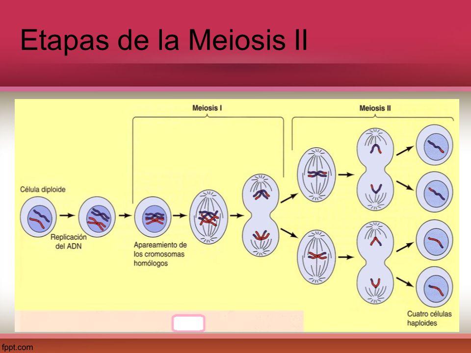 Etapas de la Meiosis II