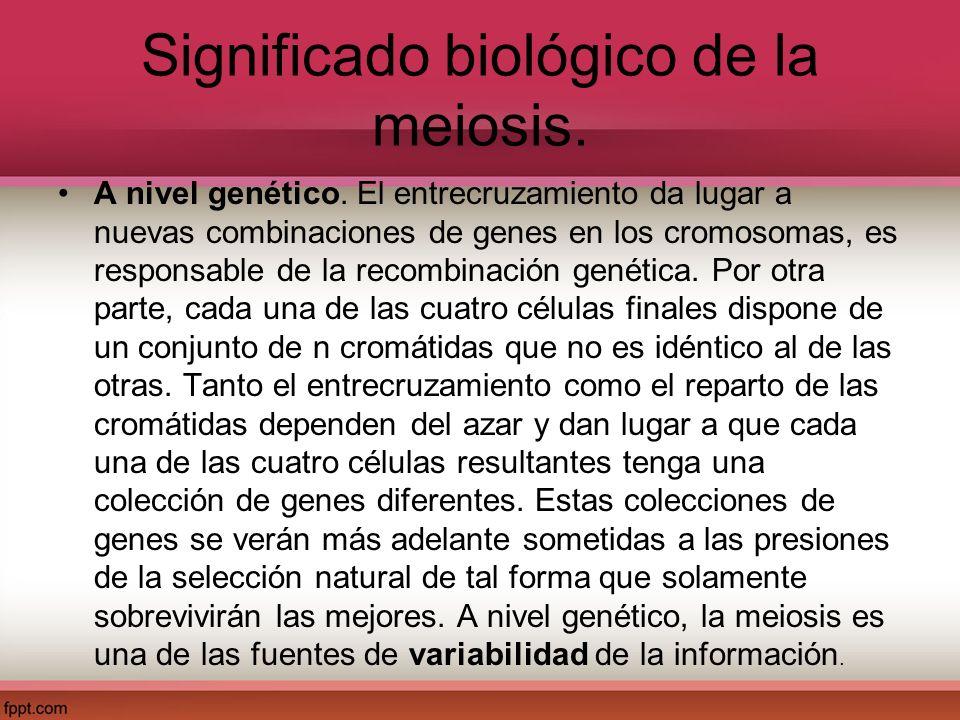 Significado biológico de la meiosis. A nivel genético. El entrecruzamiento da lugar a nuevas combinaciones de genes en los cromosomas, es responsable