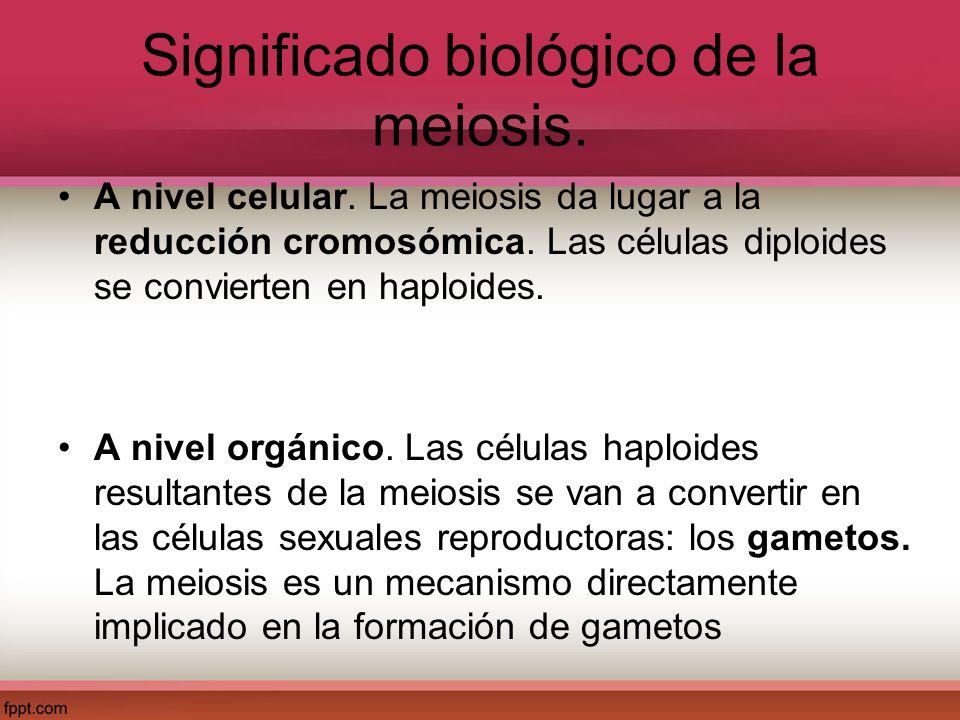 Significado biológico de la meiosis. A nivel celular. La meiosis da lugar a la reducción cromosómica. Las células diploides se convierten en haploides