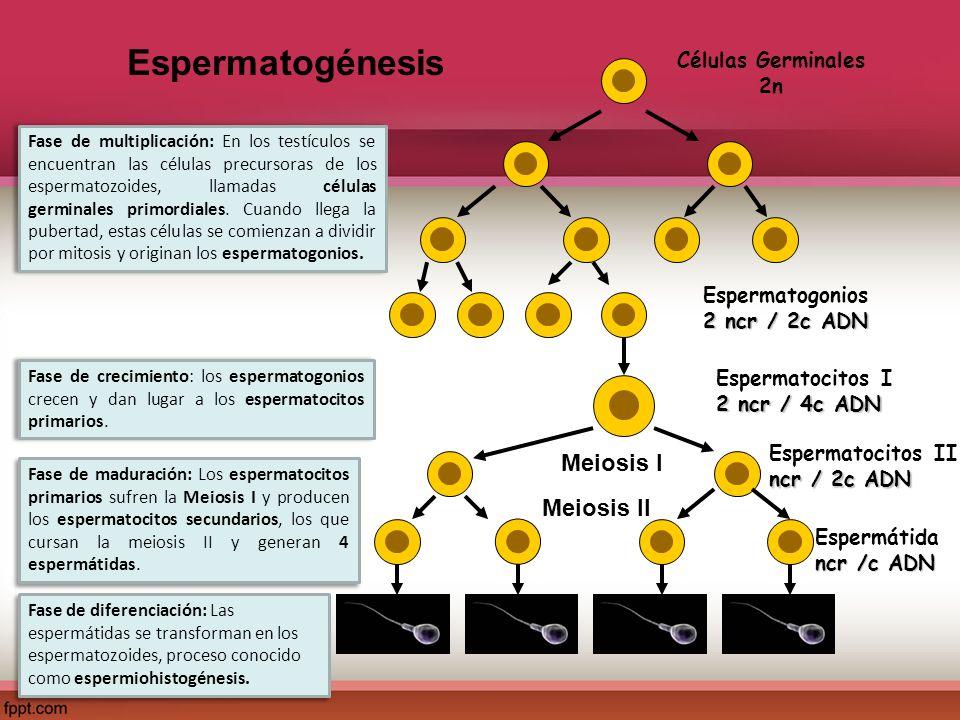 Espermatogénesis Fase de multiplicación: En los testículos se encuentran las células precursoras de los espermatozoides, llamadas células germinales p